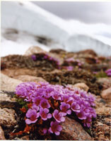 Flower - Purple Saxifrage