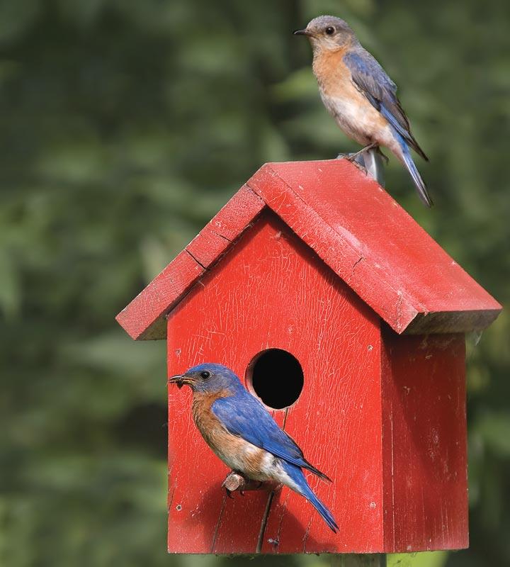 Merles-bleus