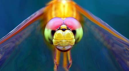 Libellule close-up