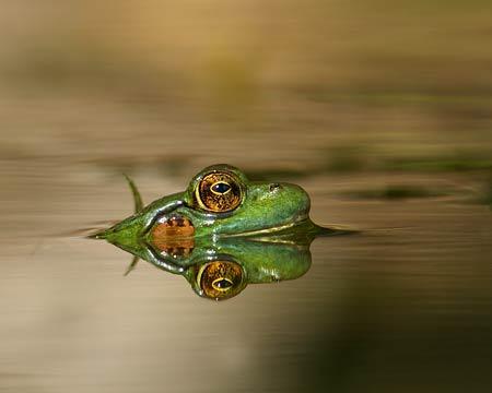 Réflexion d'une grenouille