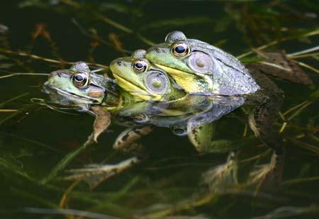 Trois grenouilles