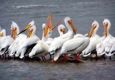 Pélicans blancs d'Amérique