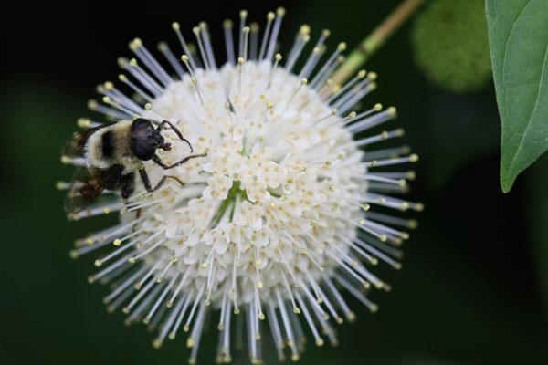 pollinator on button bush