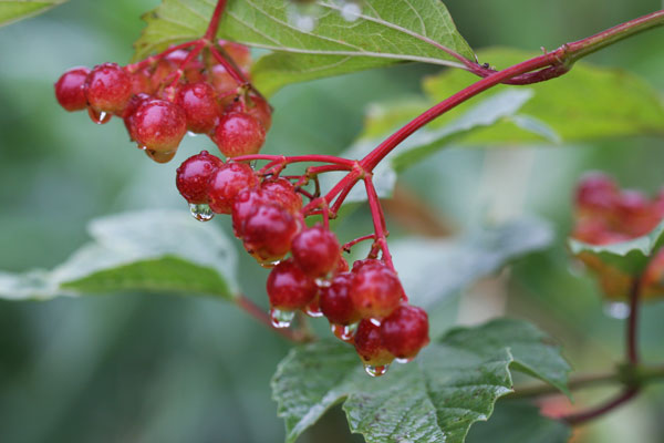 High bush cranberry – fruit