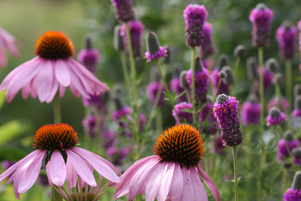 Echinacea and purple prairie clover