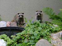 Raccoons in a garden