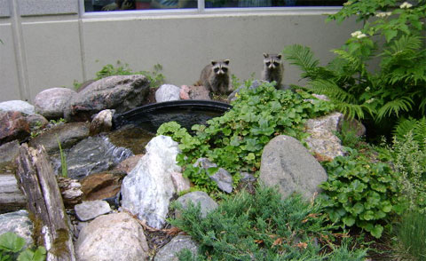 Young raccoons checking out the waterfall in our pond native garden.
