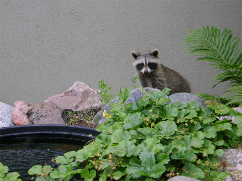 A curious raccoon kit pokes its out from behind the fern on its way through the gardens.