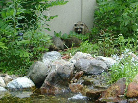 Mother raccoon herds her young along.