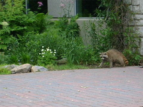 After crossing CWF's front door, the mother raccoon shows her kits the way toward the wood.