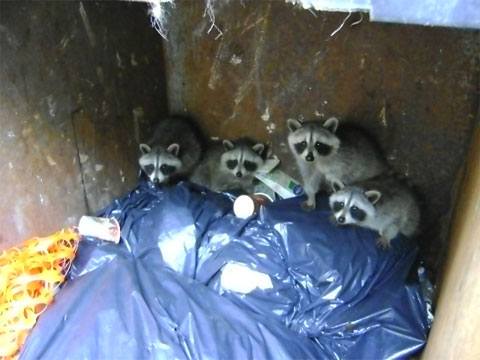 After exploring the cans in the back, several raccoon kits discovered they could not get back out.