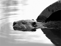 beaver 200