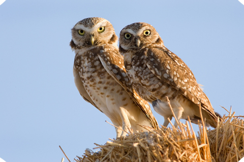 burrowing owl pair cut edges