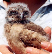 Baby Burrowing Owl