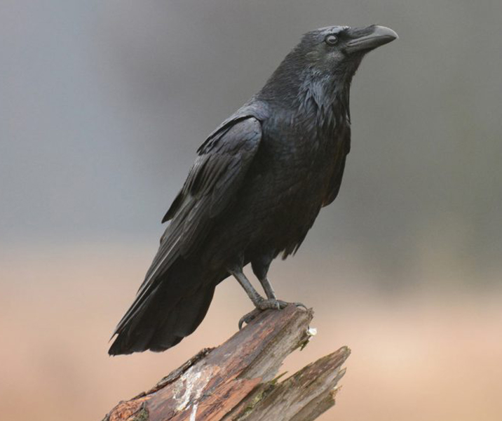 raven on branch