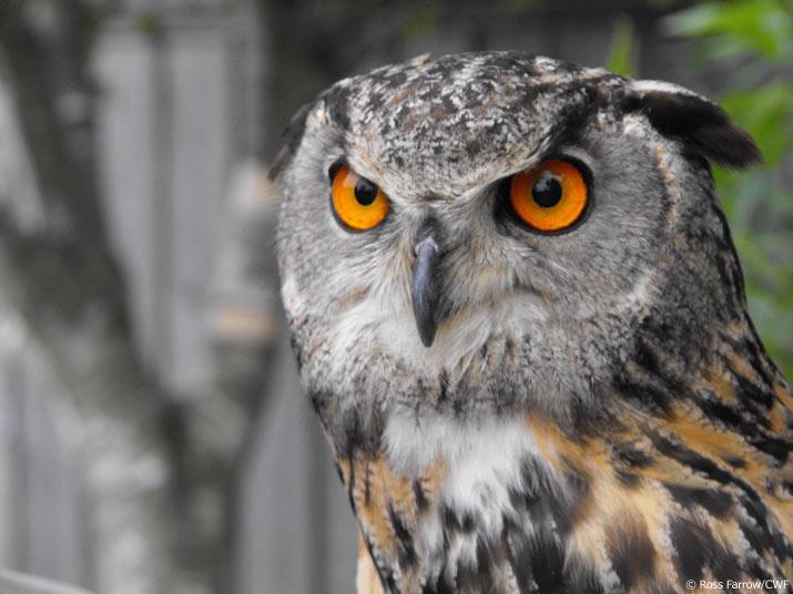 Owl with orange eyes staring