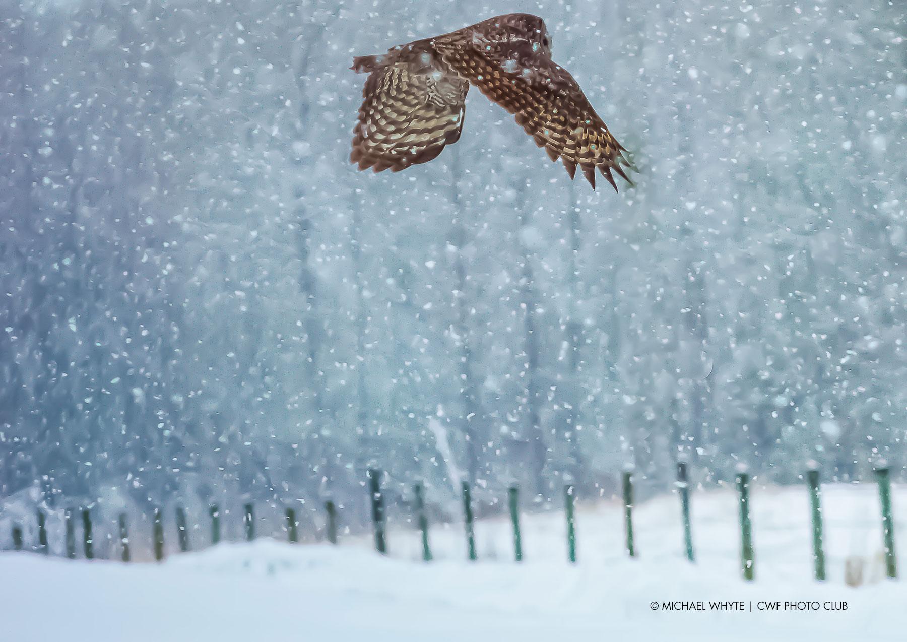snow owl alberta