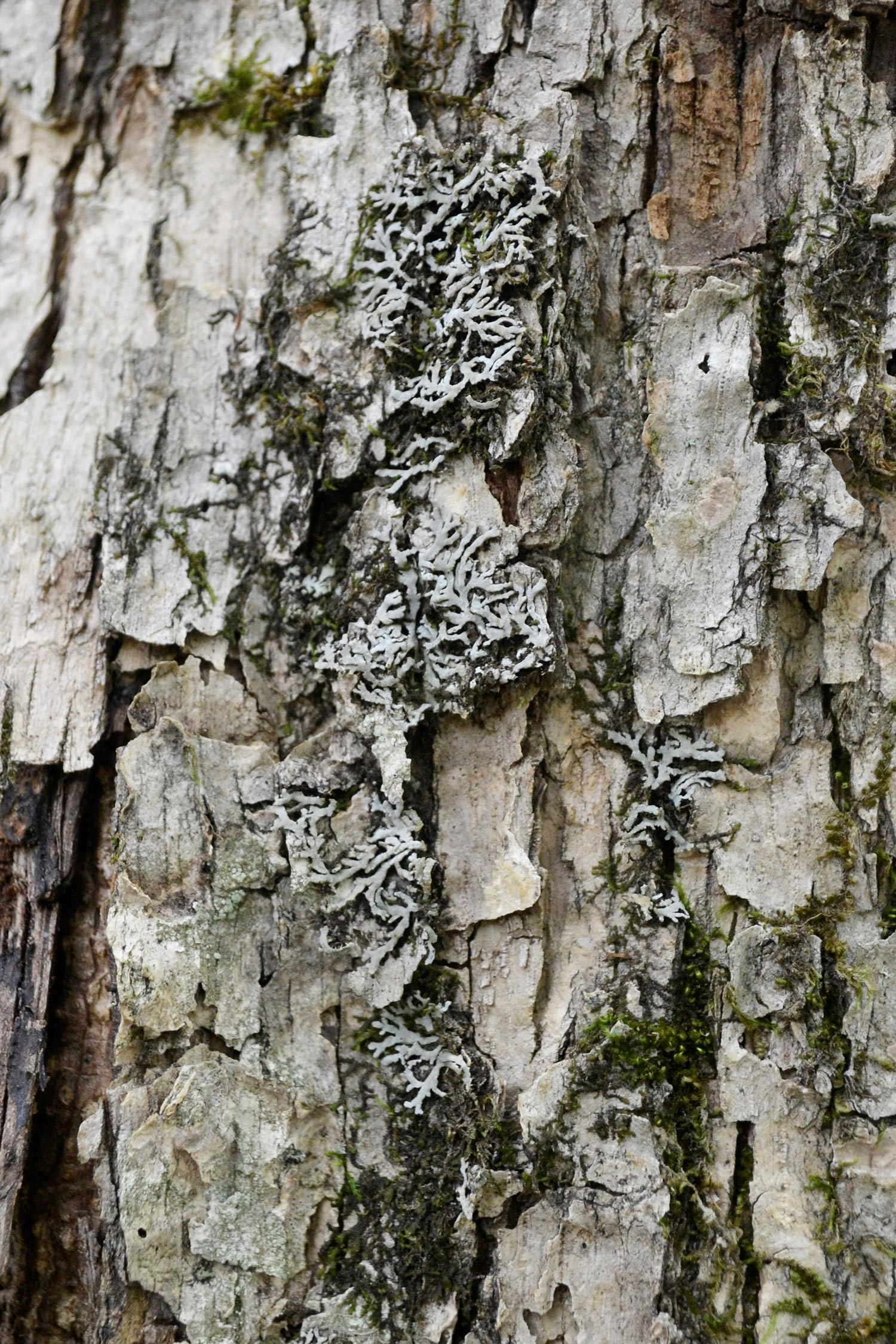 Frost lichen on tree bark