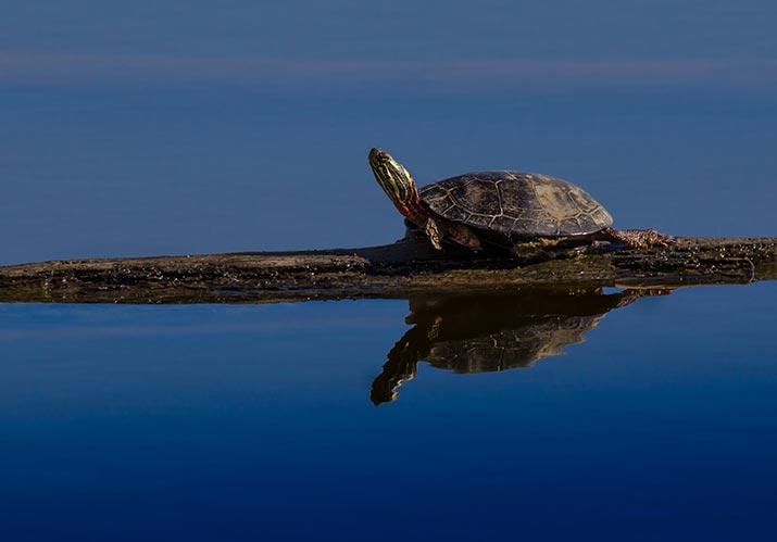painted turtle log water
