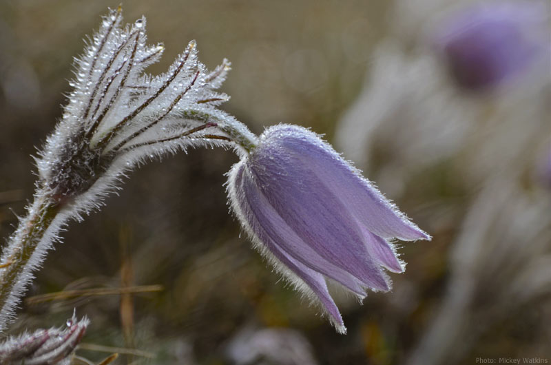 Purple crocus with frost