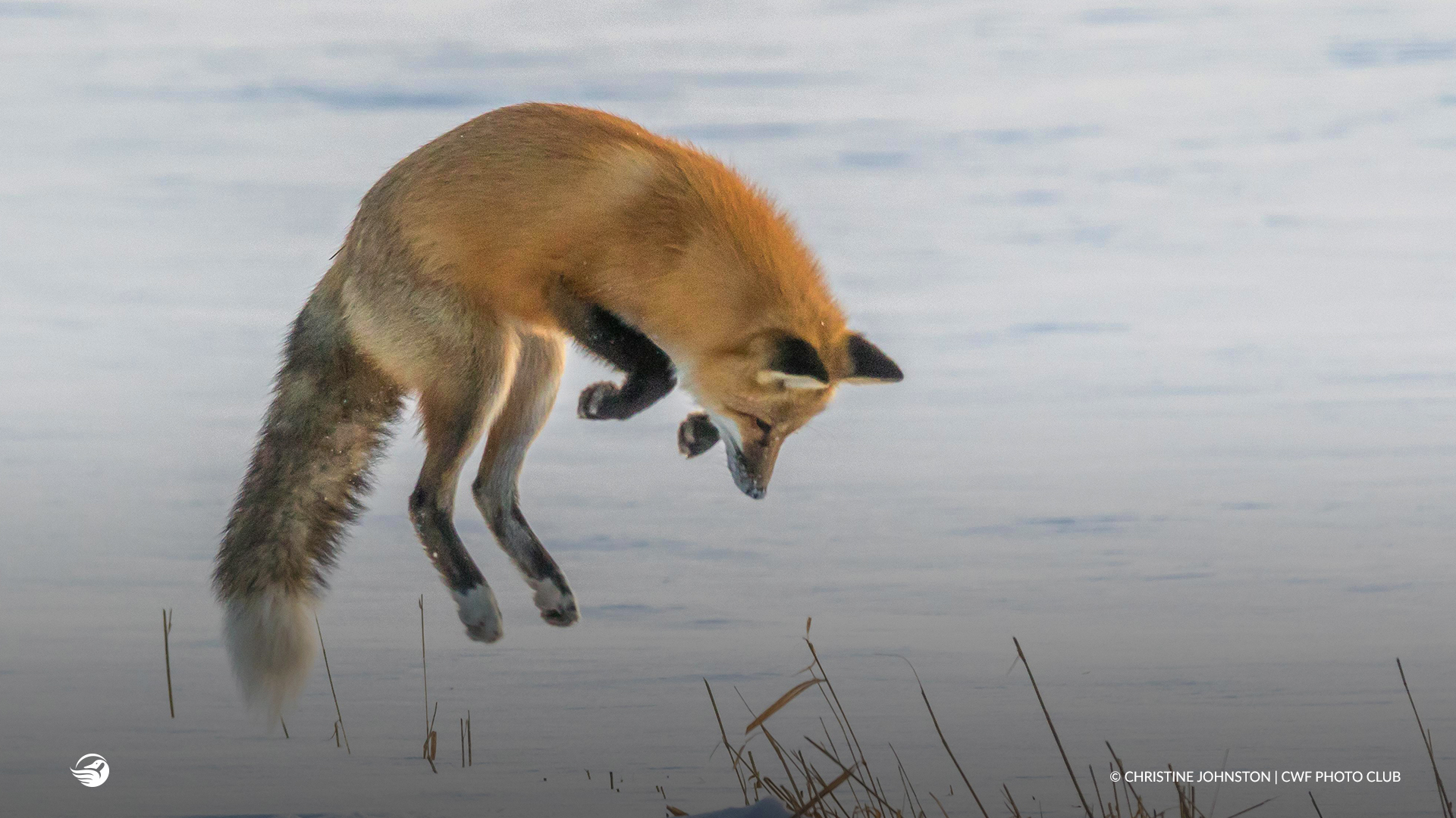 jumping red fox snow