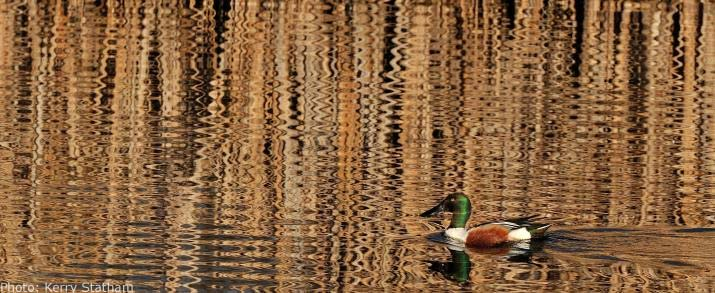 Duck Shoveler Photo by Kerry Statham