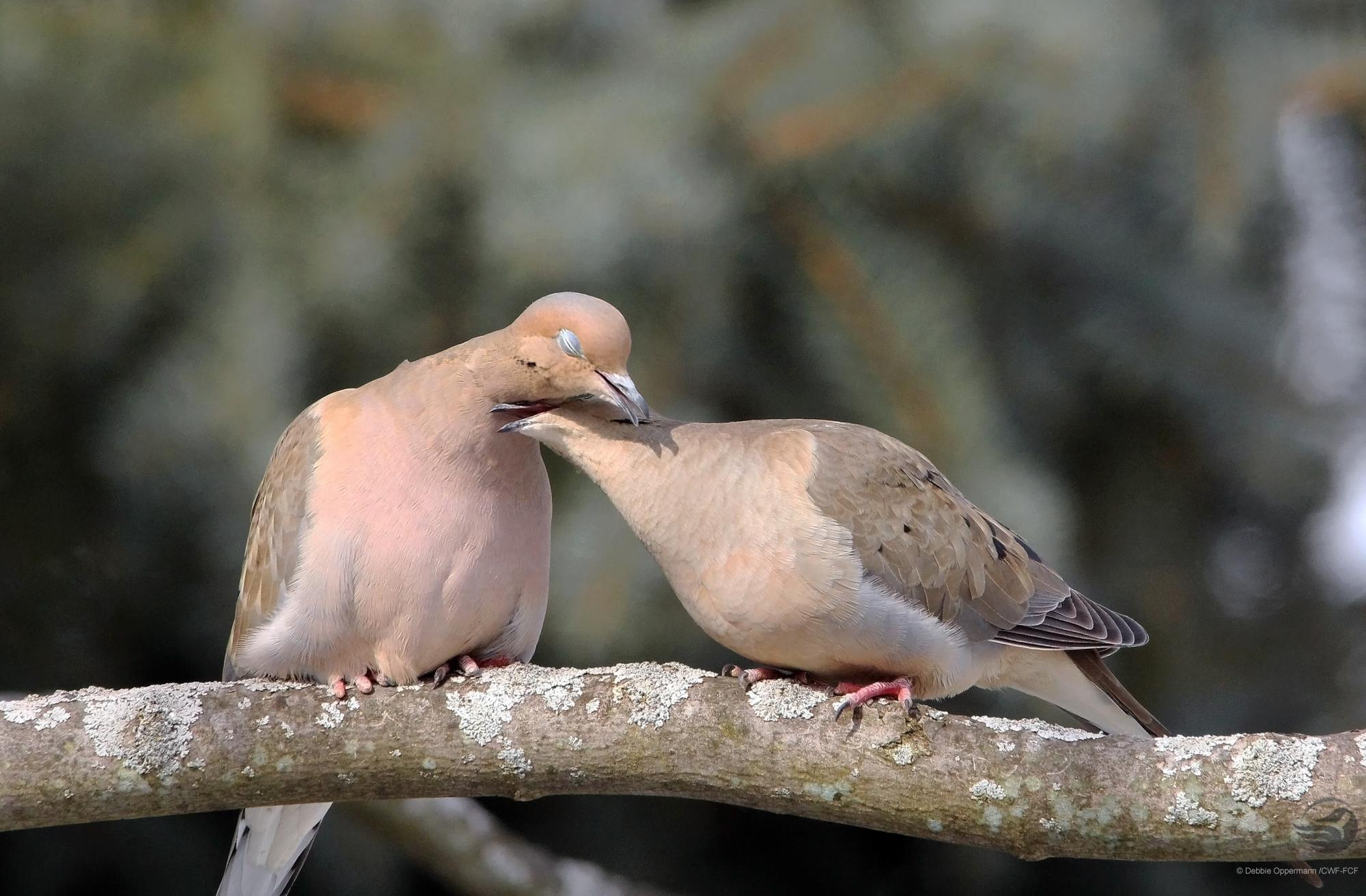Doves cuddling
