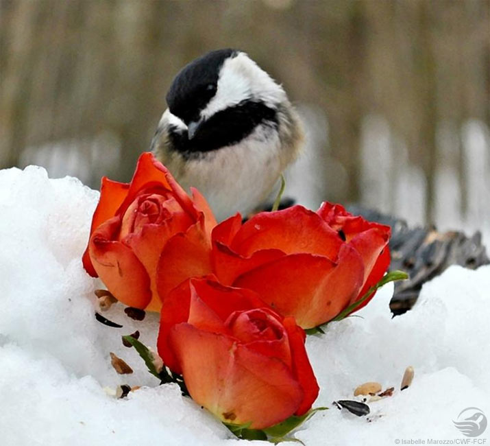 Chickadee with roses in snow