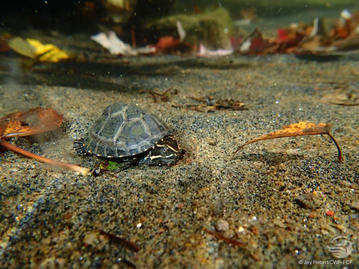 Turtle underwater on the sand floor
