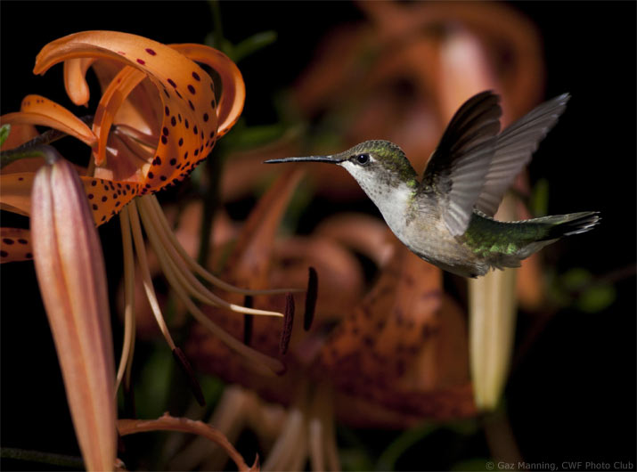 Hummingbirds, Part 1