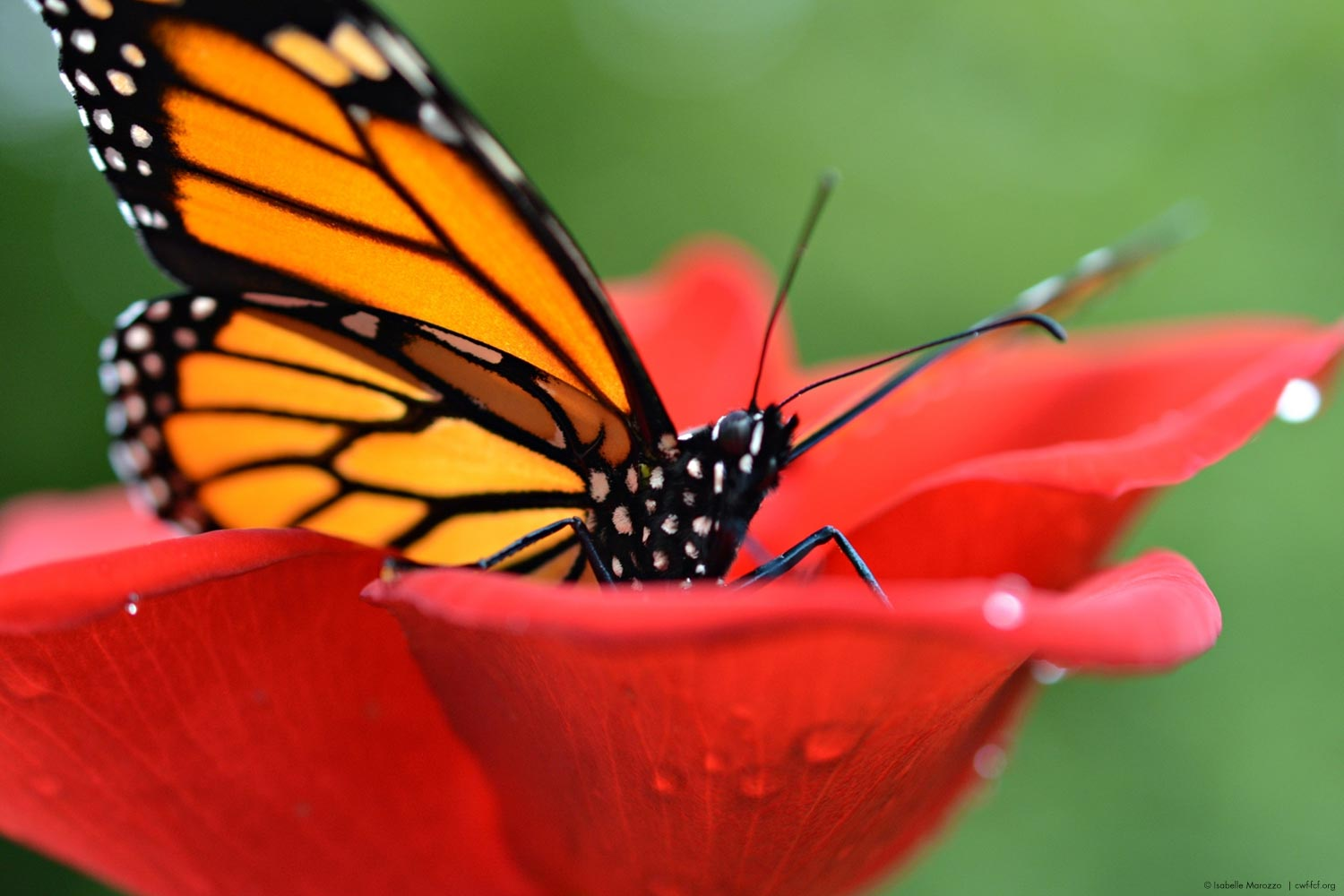 Close up of monarch butterfly on a red flower