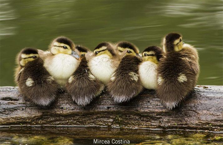 Wood duck goslings in a row