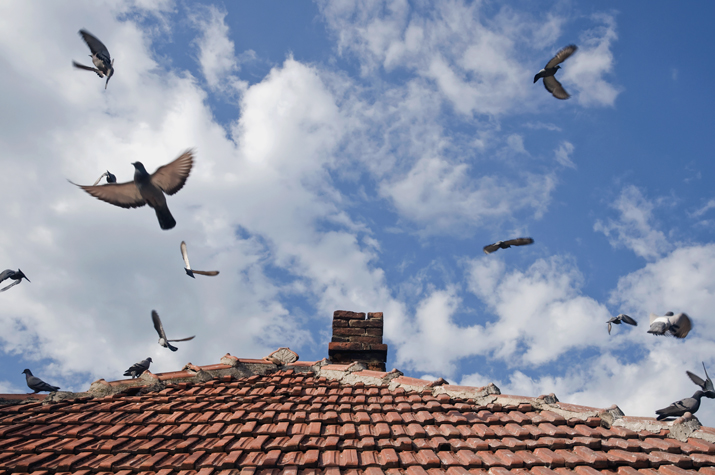 Pigeons flying away from clay roof tiles