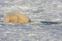 Polar bear by a breathing hole