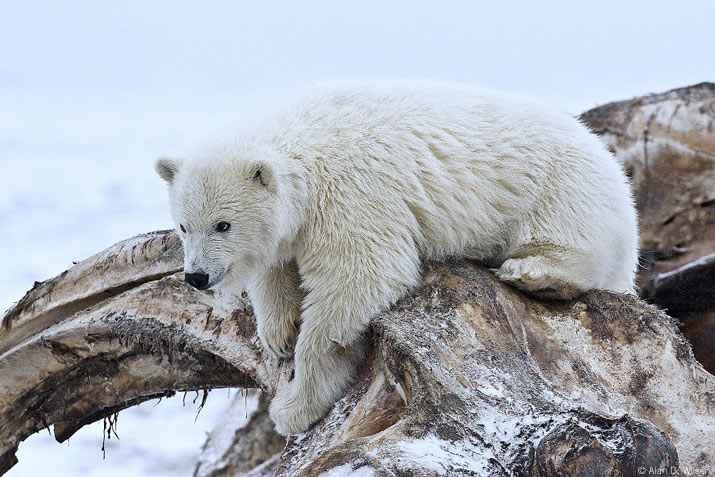 Polar bear cub leaning over bones