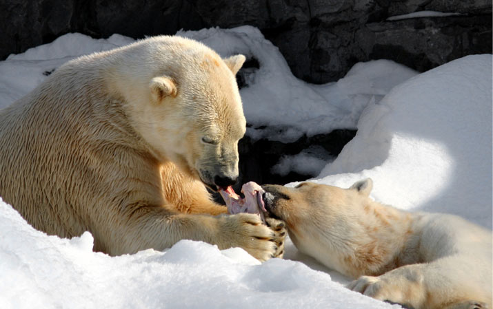 polar bears eating