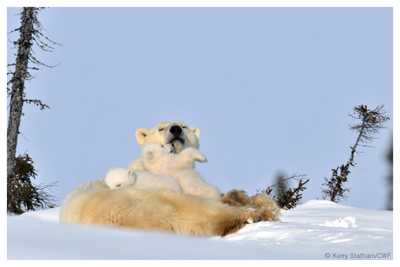 Polar bear mom with 2 cubs
