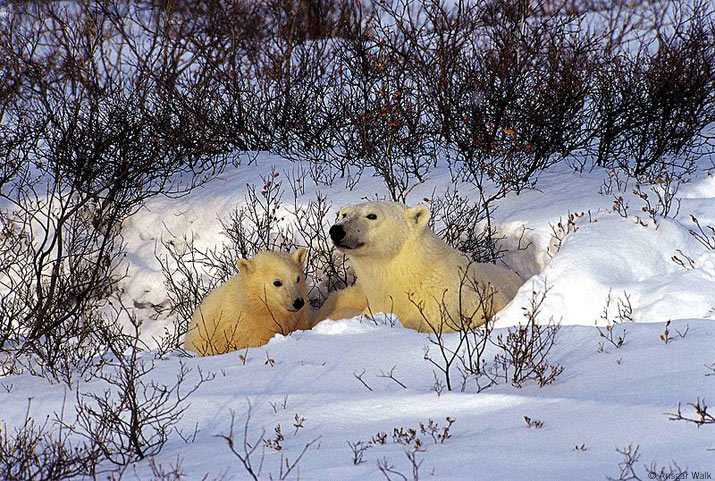 polar bear mother with cub in den