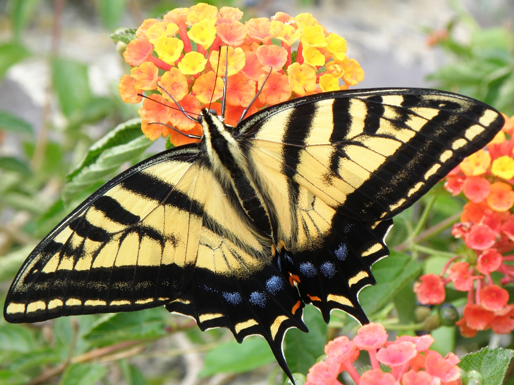 Cdn tiger swallowtail Photo9798 - Diane Taylor.jpg