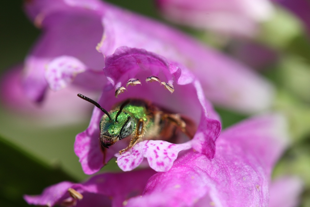 green sweat bee halictid bee