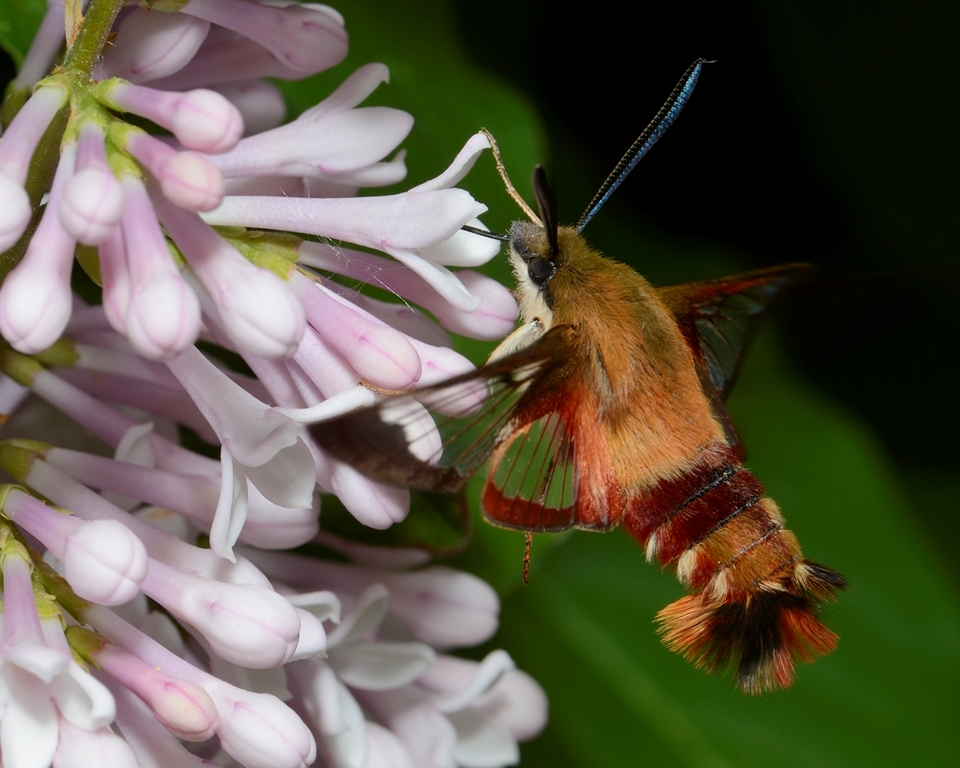 hummingbird clearwing moth Photo13309 - David Tomes.jpg