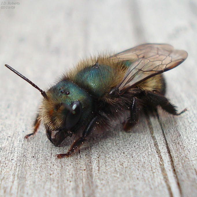 mason bee - Jason D. Roberts.jpg