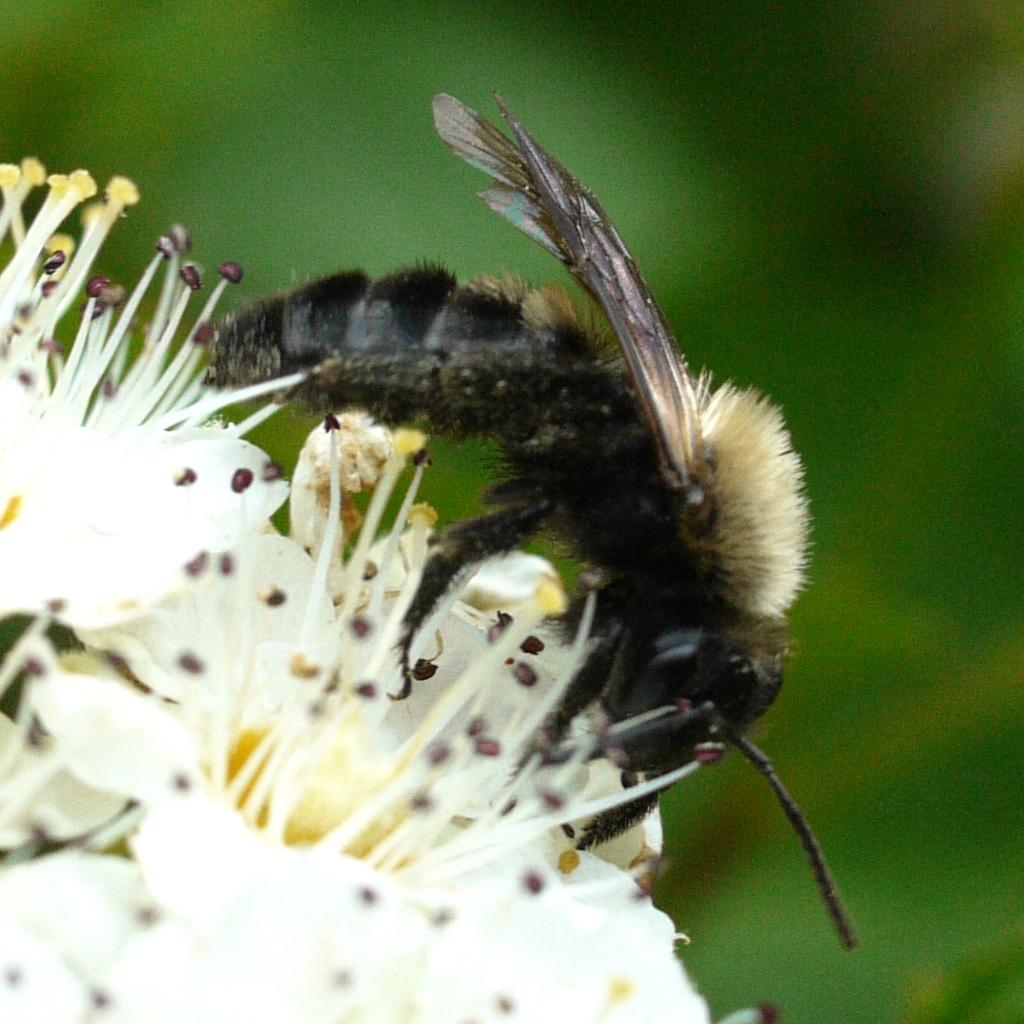mining bee - Andrena milwaukeensis