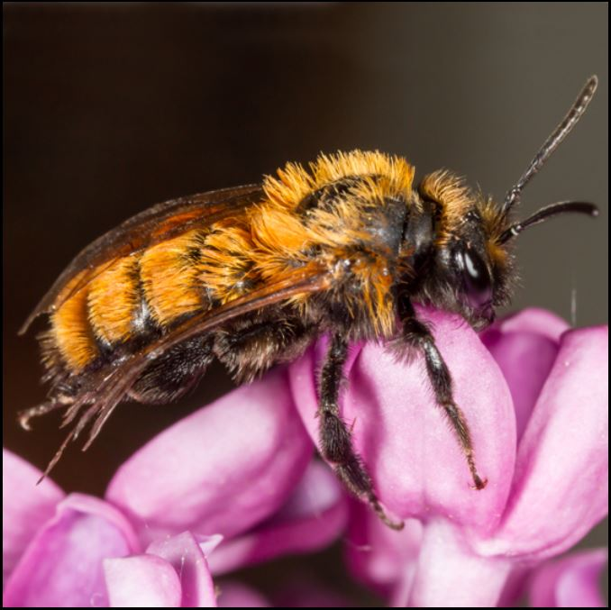 mining bee Andrena sp