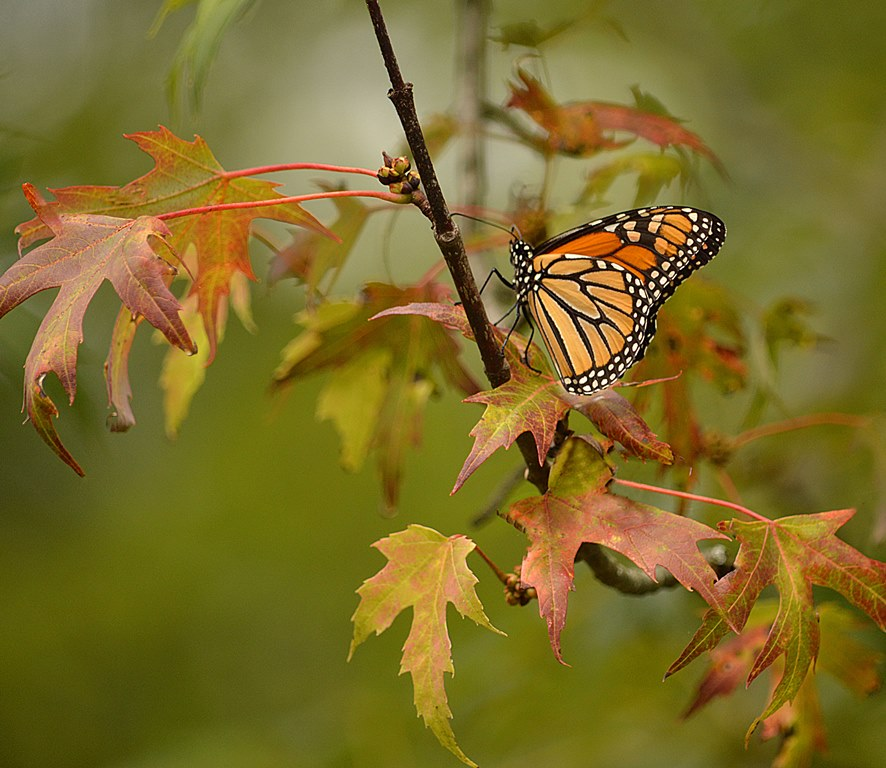 Monarch butterfly on a branch with autumn leaves