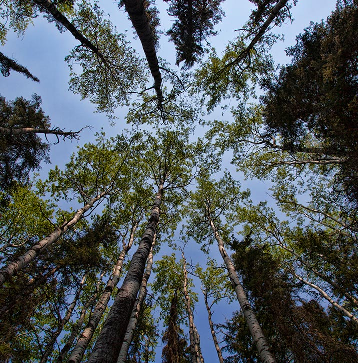 View of poplar tree tops from below