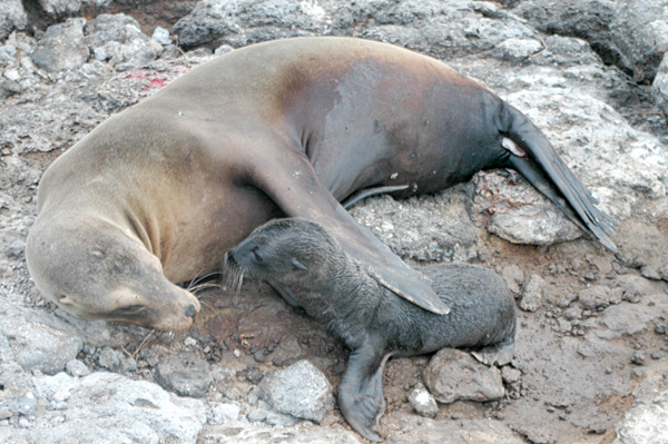 Mother seal and her pup on rocky shore