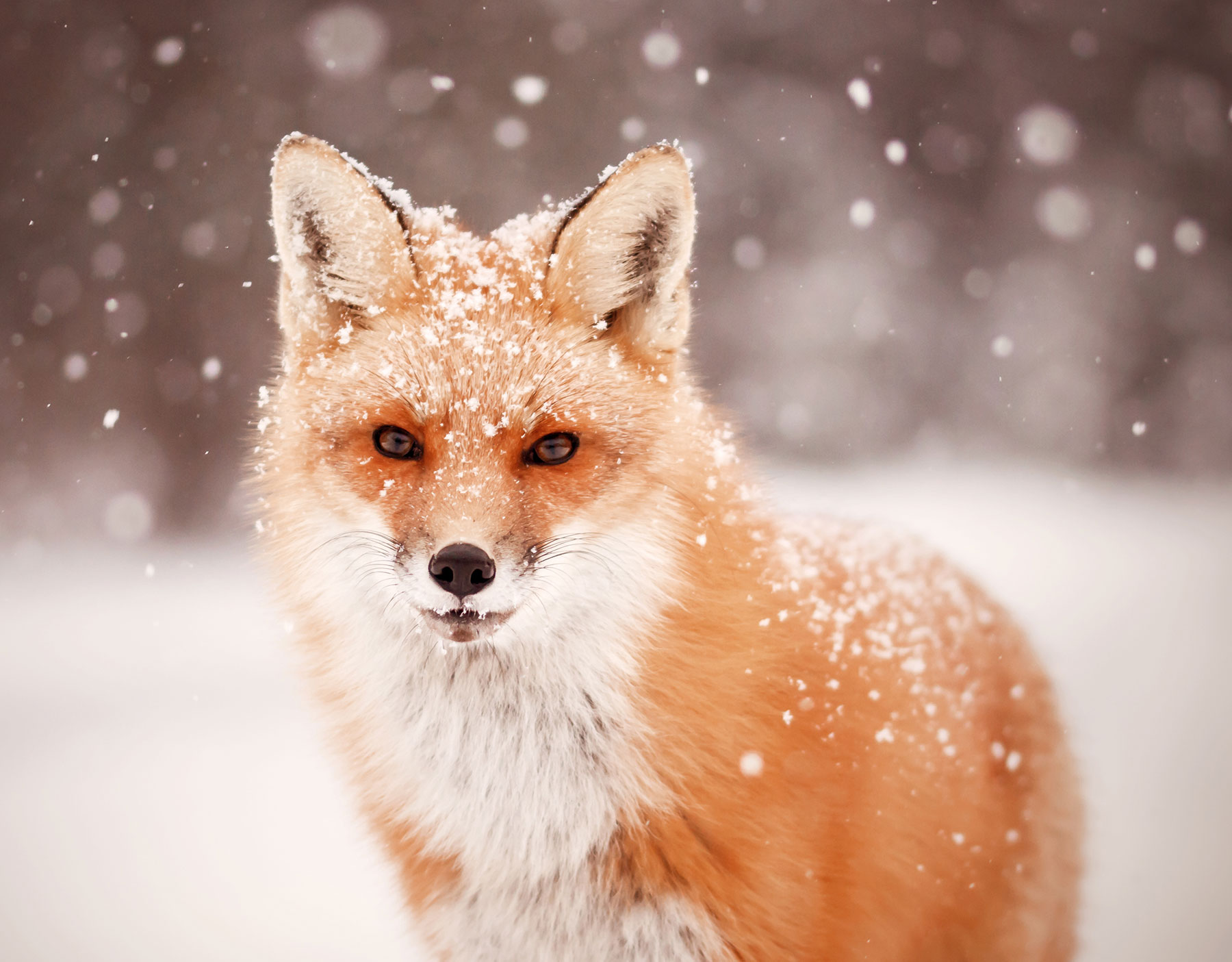 red,fox,mammal,snow, winter