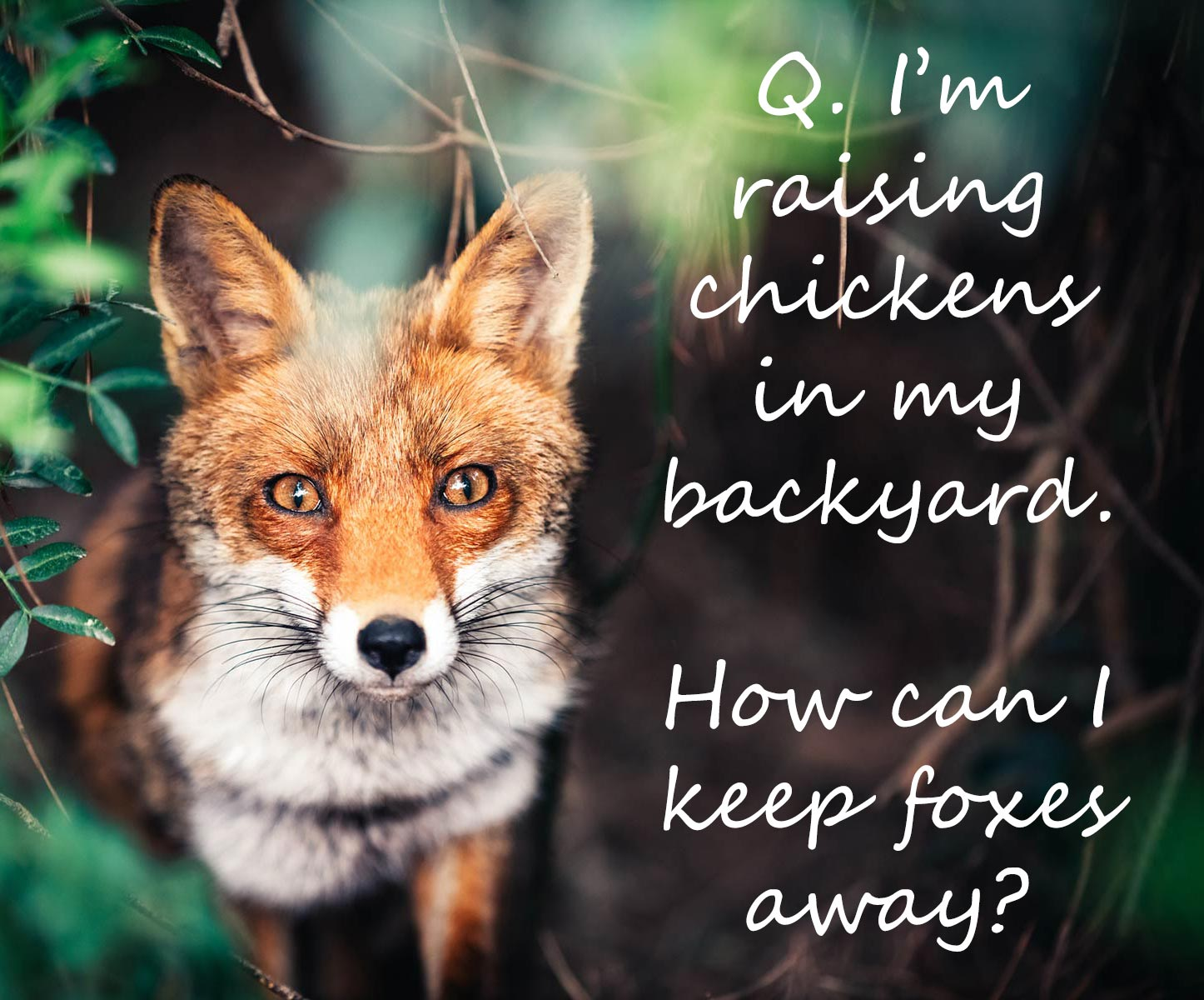 Canadian Wildlife Federation: I'm raising chickens in my ...