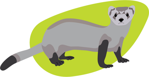 Black footed ferret illustration
